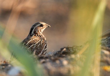 Common quail_website slider 1 © Birdlife Europe - Flight for Survival (1)