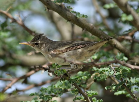 Olive-tree warbler, Hippolais olivetorum, at Elephant Sands Lodg