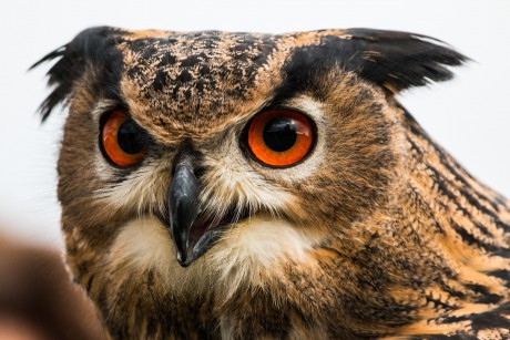 MaxPixel.freegreatpicture.com-Bubo-Bubo-Nature-Bird-Feather-Owl-Eagle-Owl-1728220-460x307