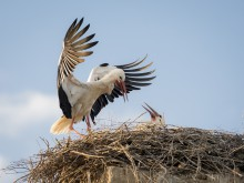 Adult white stork (Ciconia ciconia) feeding its chick