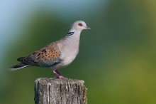 Turtle-dove_website slider 3 © Birdlife Europe - Flight for Survival
