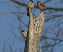Poljski vrabac, Darko Podravec